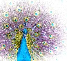 Peacock by Holly Kempe