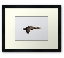 Pacific Black Duck - Motion of flight (3) -  (featured RB homepage 24th May 2015) Framed Print