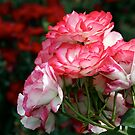 Pink Roses on Red by Wolf Read