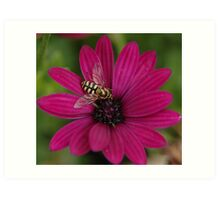 Golden Hoverfly on African Daisy Art Print
