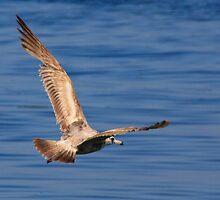 Flying Gull by David F Putnam