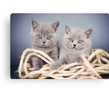Two gray fluffy kitten Canvas Print