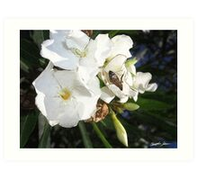 Single White Oleander with Bee 1 Art Print