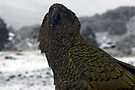 Kea. by Michael Treloar