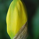 Daffodil (Mt Wilson Spring 2009) by Julie Sherlock