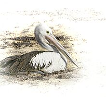 Pelican by Holly Kempe