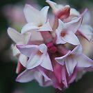 Daphne (Mt Wilson Spring 2009) by Julie Sherlock