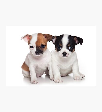 Two puppies chihuahua Photographic Print