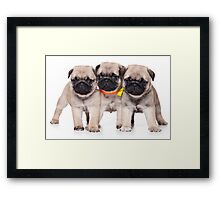 Three charming pug puppy Framed Print