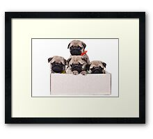 Three charming pug puppy in a box Framed Print