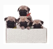 Three charming pug puppy in a box Baby Tee