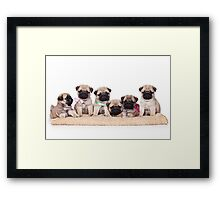 Six charming pug puppy Framed Print