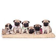 Six charming pug puppy Photographic Print