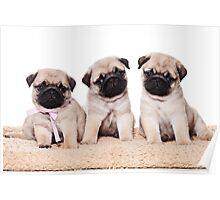 Three pug puppy Poster