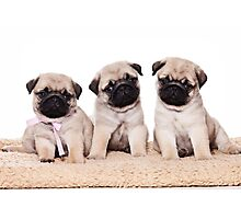 Three pug puppy Photographic Print