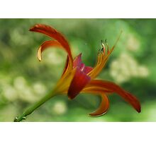 Pondside Lily Photographic Print