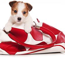 Jack Russell Terrier puppy and a red bag by utekhina