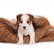 Jack Russell Terrier puppy by utekhina