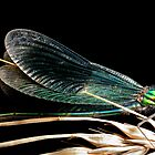 Damsel fly, Banded Demoiselle by Simon Hackney