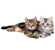 Two striped cat with big paws Photographic Print