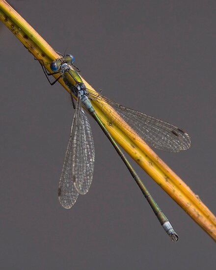 Male Emerald Damselfly by Neil Bygrave (NATURELENS)