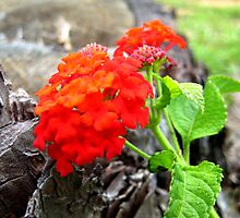 Red Lantana by MistyHatten