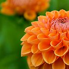 Orange Dahlia by Mabs