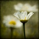 Three daisies by Barbara  Corvino