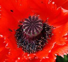 Poppy seed head by David Fowler