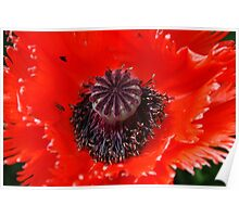 Poppy seed head Poster