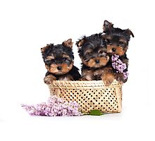 Three Puppy York and flowers Photographic Print