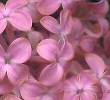 Pink Lilac by plunder