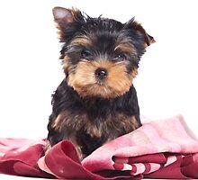 Puppy York by utekhina