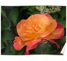 Brilliant Rose Poster