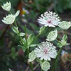 Astrantia by pcimages