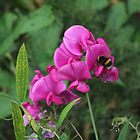 Sweet Pea by pcimages