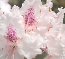 Rhododendron delicate as a bride by darrenharry
