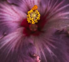 Hibiscus macro by alan shapiro