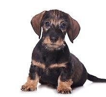 Cute Puppy dachshund by utekhina