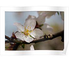 Almond Blossum 1 Poster