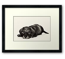 Cute Puppy dachshund Framed Print