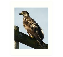 Juvenile Eagle Art Print