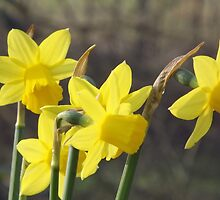 Spring Daffodils by Jacqueline Turton
