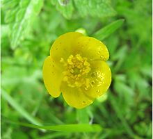 Buttercup have a few drops by PVagberg