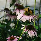 Coneflowers And Friend by John Ayo