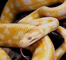 Albino Northern Territory Carpet Python (Morelia spilota variegata) by Shannon Benson