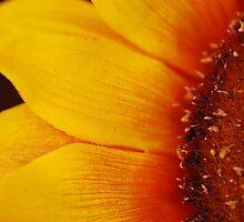 Sunflower by Johan Dahlberg
