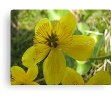 Beautiful buttercup in nature Canvas Print