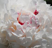 White Peony by William Sanford