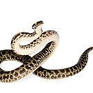 Spotted Python (Antaresia maculosa) by Shannon Benson